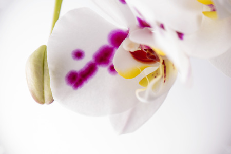 Beautiful abstract background of white and pink orchid flower macro detail