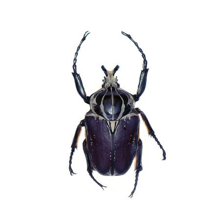ゴリアテのカブトムシ (ゴライアスオオツノハナムグリ ゴライアスオオツノハナムグリ) ホワイト バック グラウンドに対して隔離されます。 写真素材