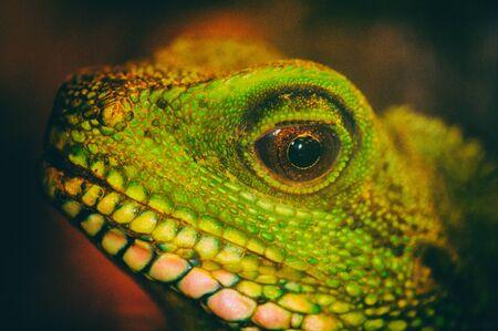 Close-up detail van een groene water draak oog