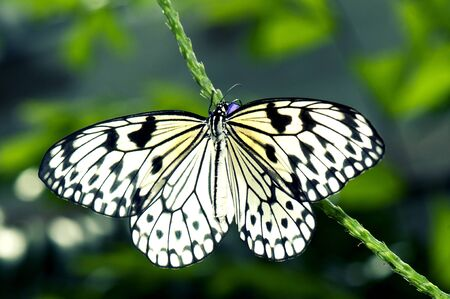 animal kite: Detail of large tree nymph butterfly Idea leuconoe aka paper kite or rice paper butterfly Stock Photo