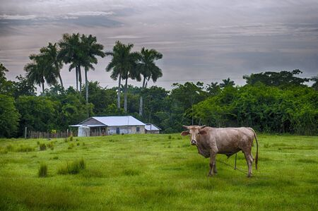 pinar: Cuban countryside landscape with cattle and hut, taken in Pinar del Rio, Cuba