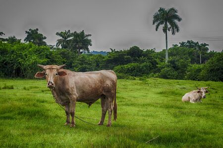 pinar: Cuban countryside landscape with cattlet, taken in Pinar del Rio, Cub Stock Photo