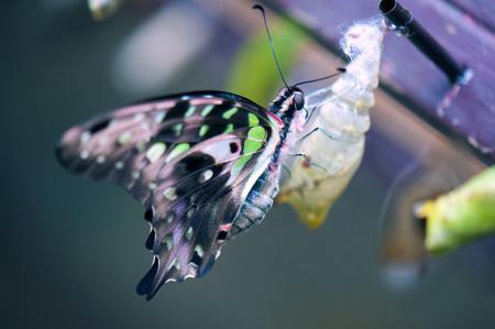 Tailed Jay Butterfly detail zitstokken op de cocon Stockfoto
