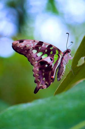 green jay: Jay mariposa de cola detalle que se encarama en una hoja verde
