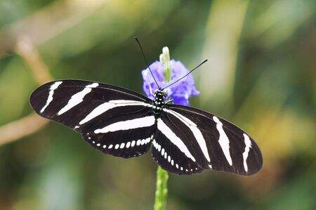 longwing: Zebra longwing butterfly (Heliconius charitonia) perching on a flower Stock Photo