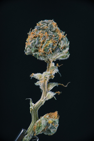 ambrosia: Detail of dried cannabis flower (ambrosia strain) isolated over black background