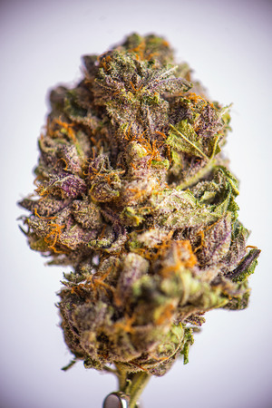Detail of dried cannabis flower (grandaddy purple strain) isolated over white background