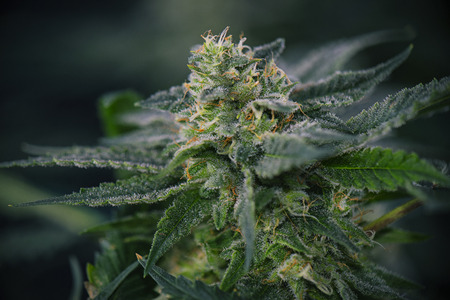 Detail of Cannabis cola (mangolope marijuana strain) with visible hairs, trichomes and leaves on late flowering stage
