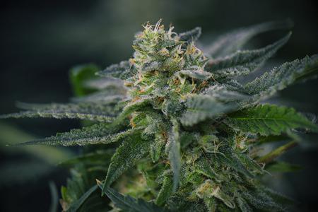 Detail van Cannabis cola (mangolope marihuana strain) met zichtbare haartjes, trichomen en bladeren in laatbloeiperiode Stockfoto - 69958515
