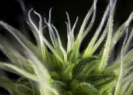 Abstract macro detail of cannabis bud (Thousand Oaks marijuana strain) with visible hairs and trichomes isolated over black background