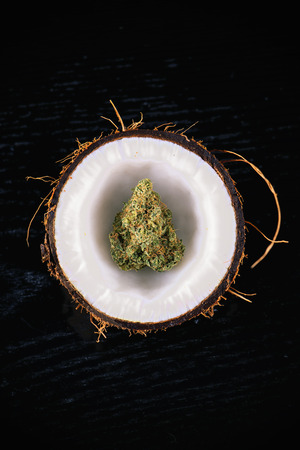 coco: Detalle de la yema de hojas secas de cannabis dentro de un coco abierto la mitad aislado en negro - concepto de la marihuana medicinal Foto de archivo
