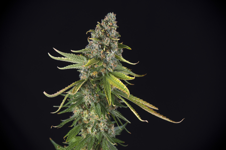 black hairs: Detail of Cannabis cola (green crack marijuana strain) with visible hairs and leaves on late flowering stage - isolated over black background