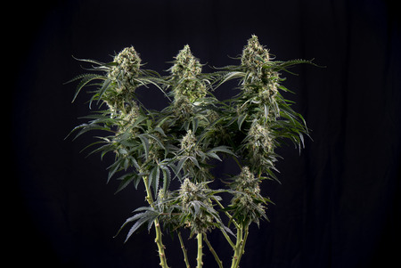 black hairs: Detail of Cannabis cola (green crack marijuana strain) with visible hairs, trichomes and leaves on late flowering stage - isolated over black background Stock Photo