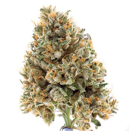 Macro detail of single cannabis bud (Mangolope strain) isolated on white - Medical marijuana background