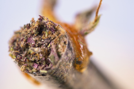 Macro detail of cannabis joint with purple and green strains and some oil on the tip - medical marijuana concept