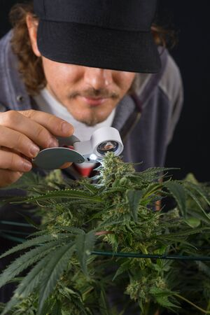 black hairs: Detail of young man checking cannabis cola (Thousand Oaks marijuana strain) with visible hairs and leaves on late flowering stage - isolated over black background Stock Photo