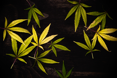 Fresh harvested cannabis leaves pattern isolated over black background - medical marijuana concept Stock Photo