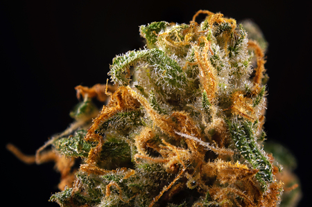 Abstract macro detail of cannabis bud (green crack marijuana strain) with visible hairs and trichomes  Imagens