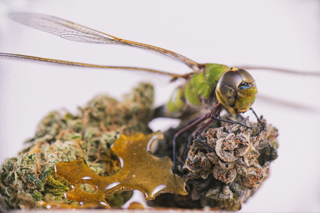 Macro detail of dragonfly over cannabis buds and shatter isolated over white background