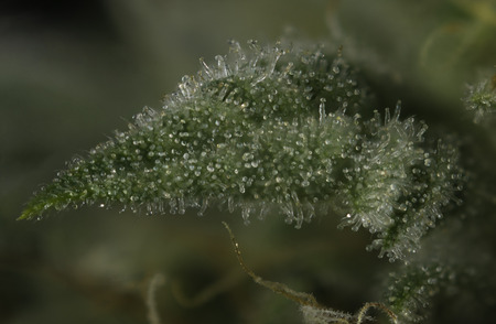 Abstract macro detail of cannabis bud (Thousand Oaks marijuana strain) with visible hairs and trichomes on late flowering stage