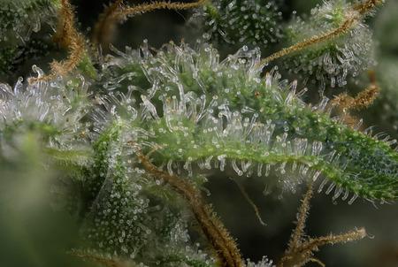 開花後期に大麻の芽 (火災クリーク マリファナ株) 目に見える毛と毛のマクロの詳細を抽象化します。