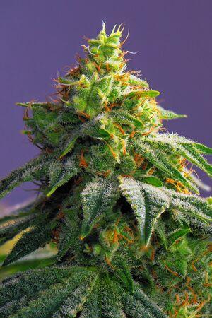 大麻コーラ (火災クリーク マリファナ株) 目に見える毛と紫色の背景を分離 - 後半の開花期の葉の詳細