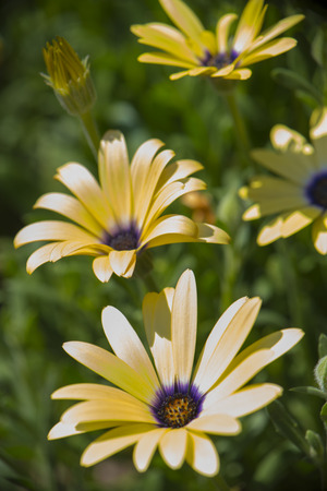 Close up of yellow daisies in full bloom - floral background