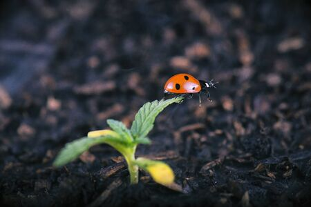 Macro detail of potted cannabis sprout with lady bug (ladybeetle) - medical marijuana farming concept Reklamní fotografie