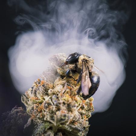 Macro detail of a bee over cannabis bud (purple alien strain) isolated over black background with smoke cloud - medical marijuana concept 版權商用圖片