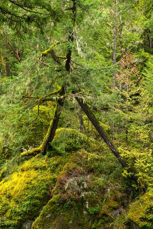 View of mossy tree trunks in old growth rain forest in Vancouver Island, British Columbia, Canada