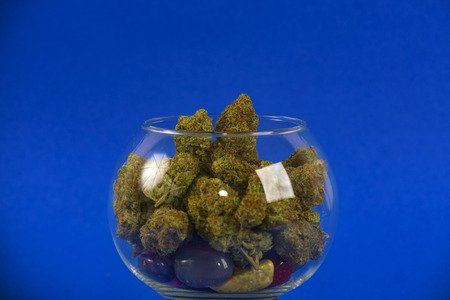 Cannabis buds (sour tangie strain) isolated on blue background - Medical marijuana concept