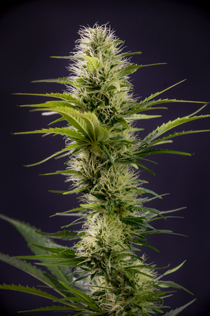 Detail of blooming cannabis flowers isolated over black background, medical marijuana concept 免版税图像