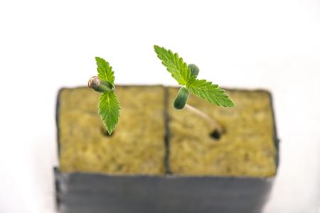 Detalle macro de brotes de cannabis en un cubo con las dos primeras hojas creciendo, aislado sobre fondo blanco. Foto de archivo
