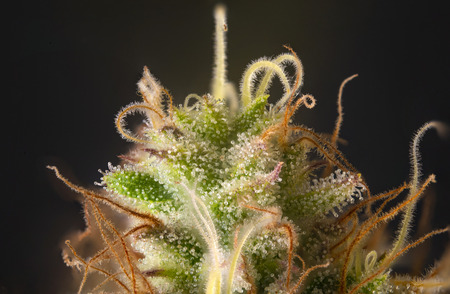 Macro detail of cannabis flower with visible hairs and trichomes, original pink gangster marijuana strain