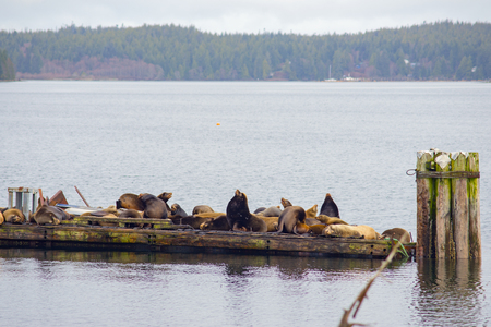 View of wild stellar sea lions basking in the sun by the ocean in Ucluelet, Vancouver Island, Canada