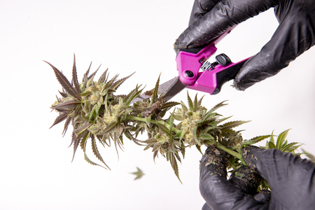 Hand with gloves trimming a fresh cannabis flower over white background - cannabis cultivation concept