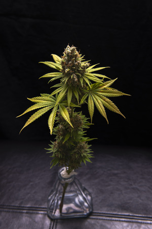 Detail of cannabis flower (Sour diesel marijuana strain) on a vase isolated over black background
