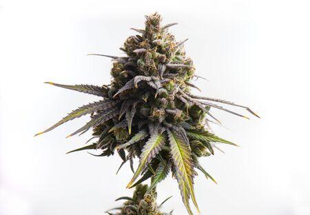 Macro detail of Cannabis flower (CBD dream strain) isolated over white background, medical marijuana concept Stock fotó