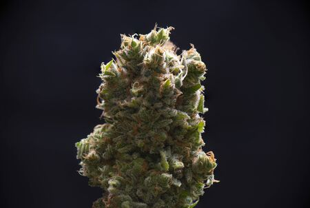 Macro detail of Cannabis flower (green crack strain) isolated over black background, medical marijuana concept