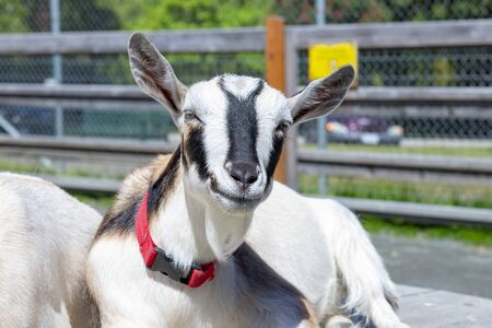 Adorable baby goats portrait taken at Victoria's Beacon Hill Park in Vancouver Island, Canada