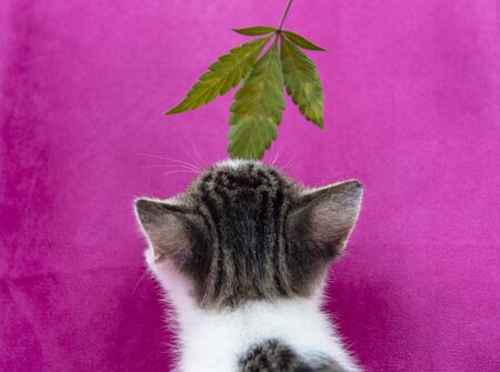 Small cat smelling a cannabis leaf on pink background, marijuana for pets concept  Imagens