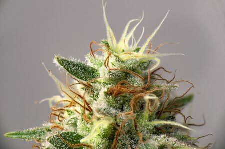 Macro detail of Cannabis flower (white critical strain) with visible trichomes, medical marijuana concept