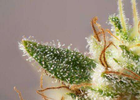 Macro detail of Cannabis flower (white critical strain) with visible trichomes, medical marijuana concept 写真素材 - 132049546