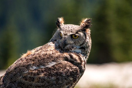 Isolated front view Eagle Owl Close up Stock Photo