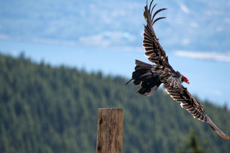 Isolated Vulture Flying with Spread Wings
