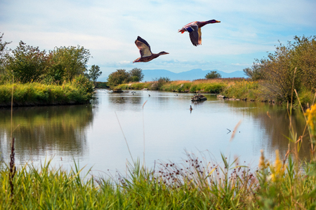 Migratory ducks Flying over a lake Stock Photo