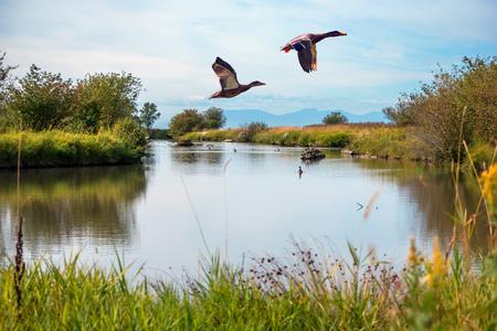 Wędrowne kaczki Latające nad jeziorem