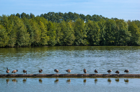 Ducks in a row on a log on a lake Imagens