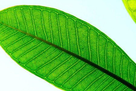 Close up of Guava leaf Stockfoto