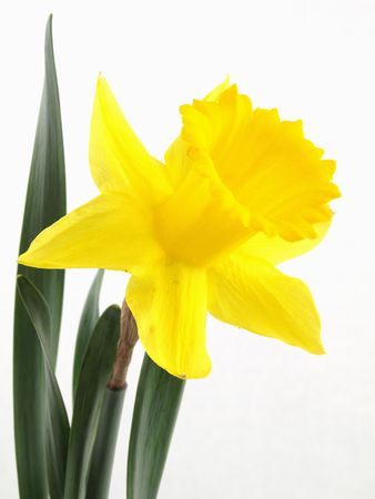 A vibrant yellow narcissus daffodil isolated against a white background. Stock Photo - 3147157